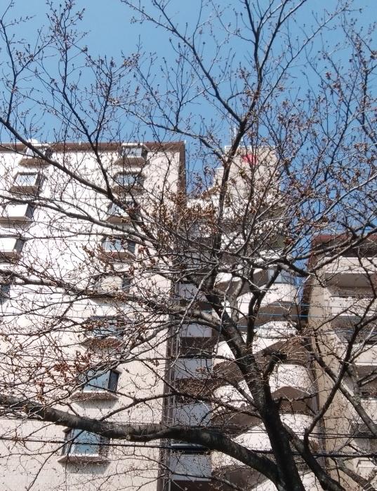 桜開花_f0211013_17213364.jpg