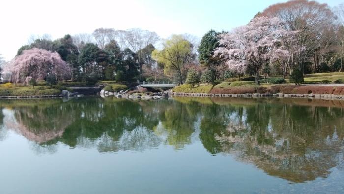 桜開花_f0211013_17230831.jpg