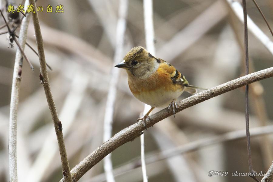 お山の冬鳥たち②_e0268015_21451612.jpg
