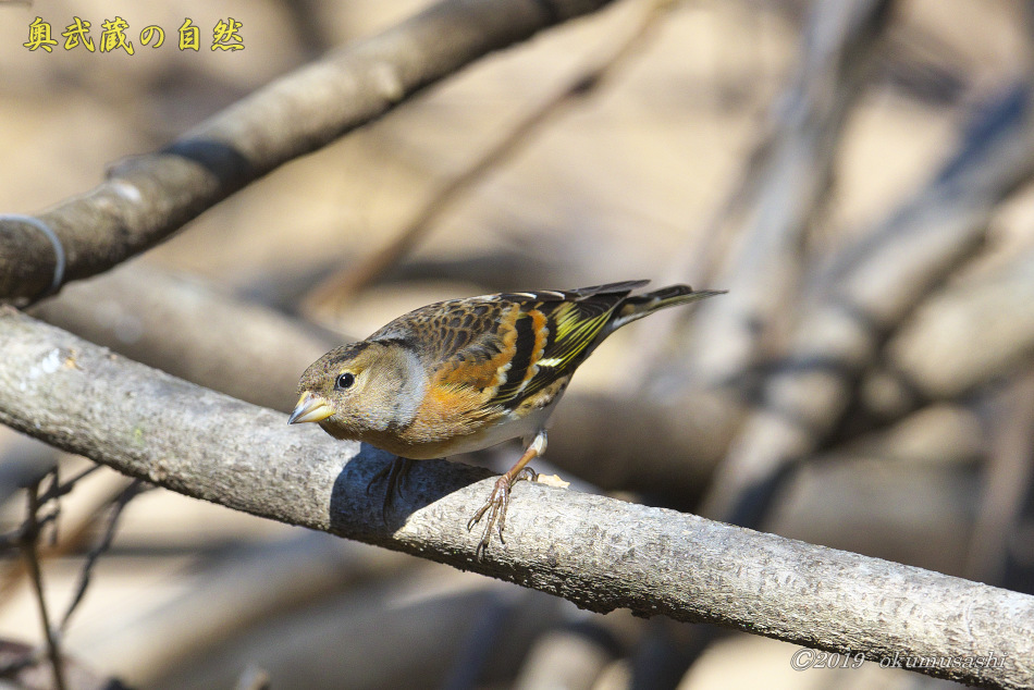 お山の冬鳥たち②_e0268015_21462080.jpg