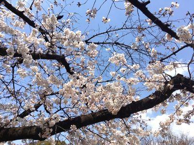 上野で花見?_e0234016_21020079.jpg