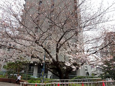 無念のお花見弁当_f0097523_16530717.jpg