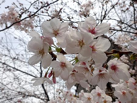 無念のお花見弁当_f0097523_16531211.jpg