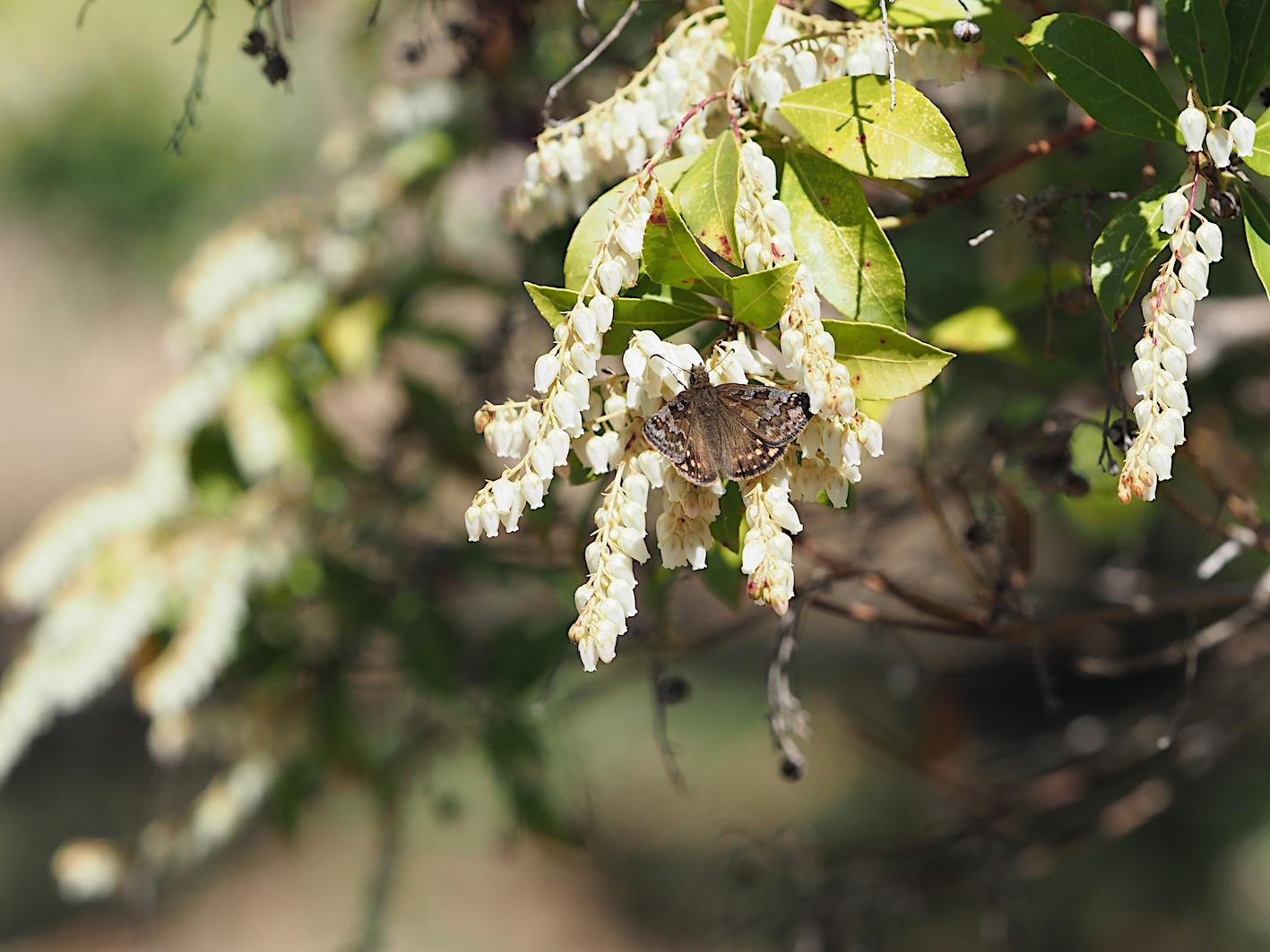アセビにくる蝶たち、ミヤマセセリ(2019年3月26日)_d0303129_1504072.jpg