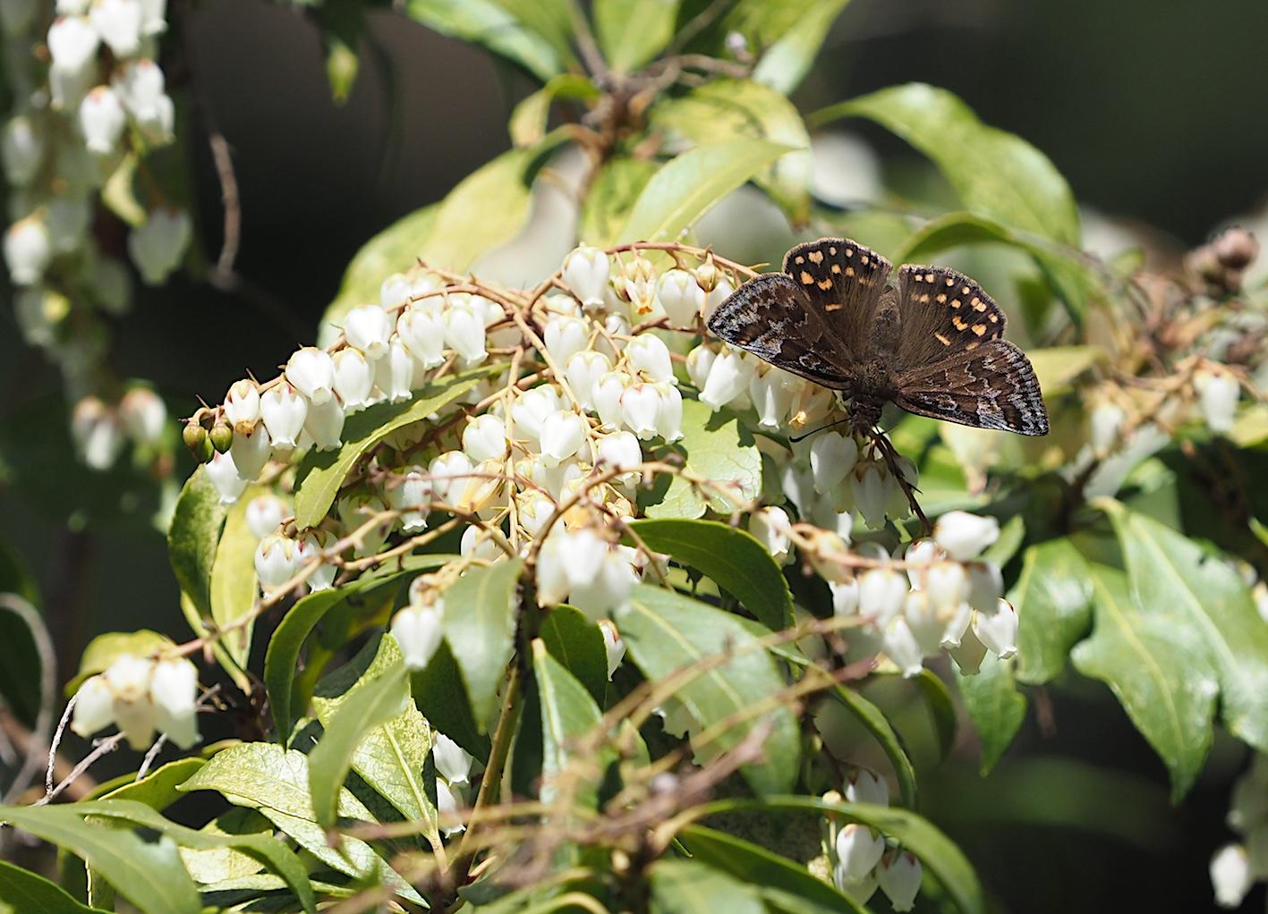 アセビにくる蝶たち、ミヤマセセリ(2019年3月26日)_d0303129_1505514.jpg
