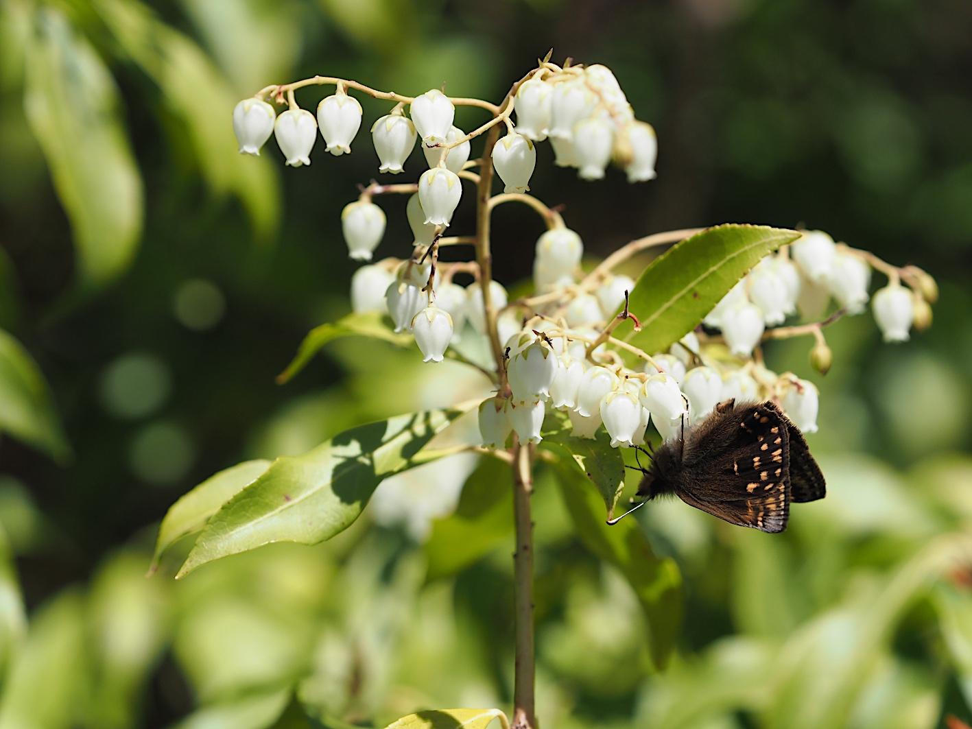 アセビにくる蝶たち、ミヤマセセリ(2019年3月26日)_d0303129_1511044.jpg