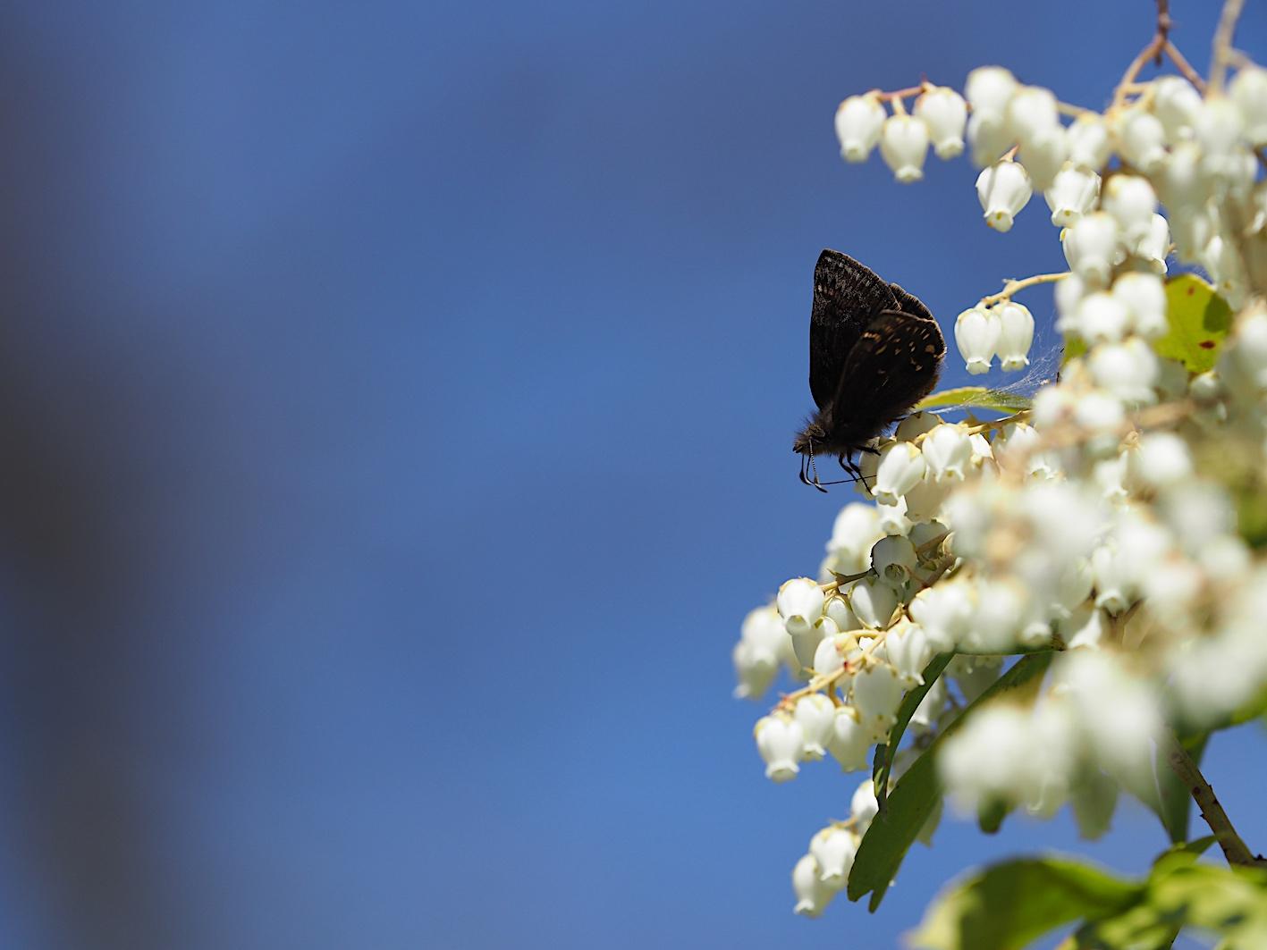 アセビにくる蝶たち、ミヤマセセリ(2019年3月26日)_d0303129_15123.jpg