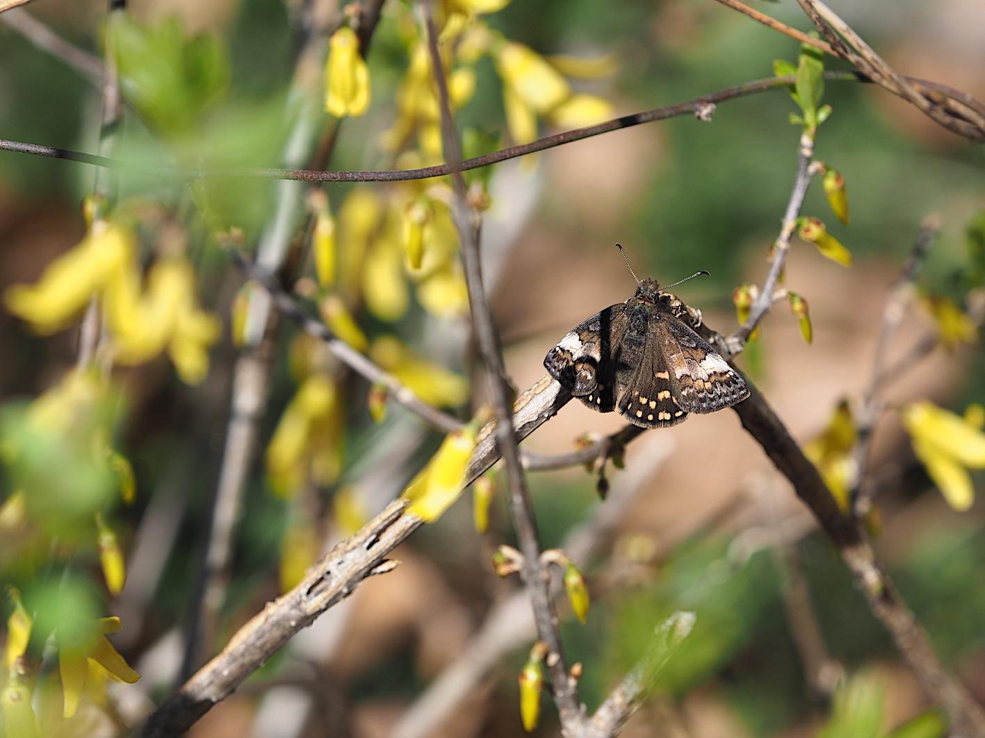 アセビにくる蝶たち、ミヤマセセリ(2019年3月26日)_d0303129_1513154.jpg