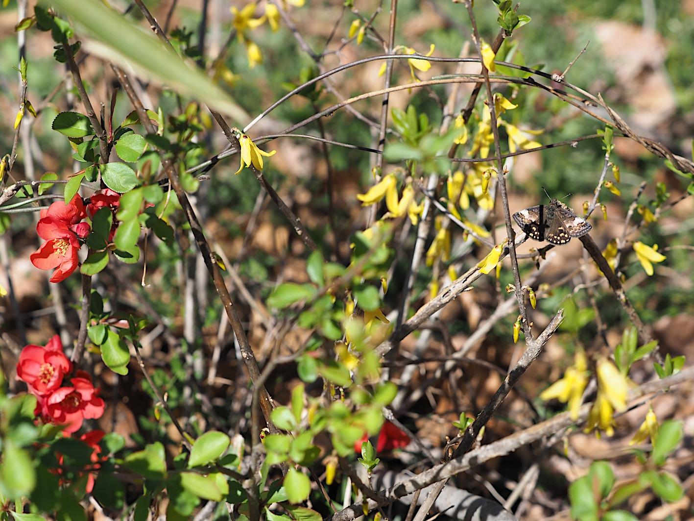 アセビにくる蝶たち、ミヤマセセリ(2019年3月26日)_d0303129_1513953.jpg