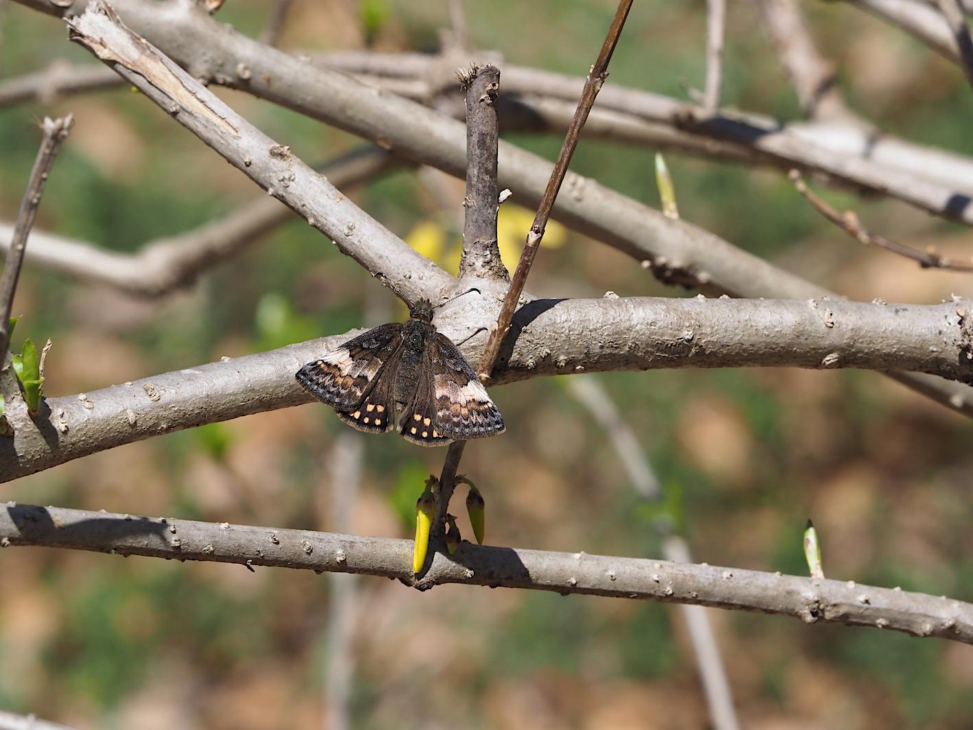 アセビにくる蝶たち、ミヤマセセリ(2019年3月26日)_d0303129_1515446.jpg