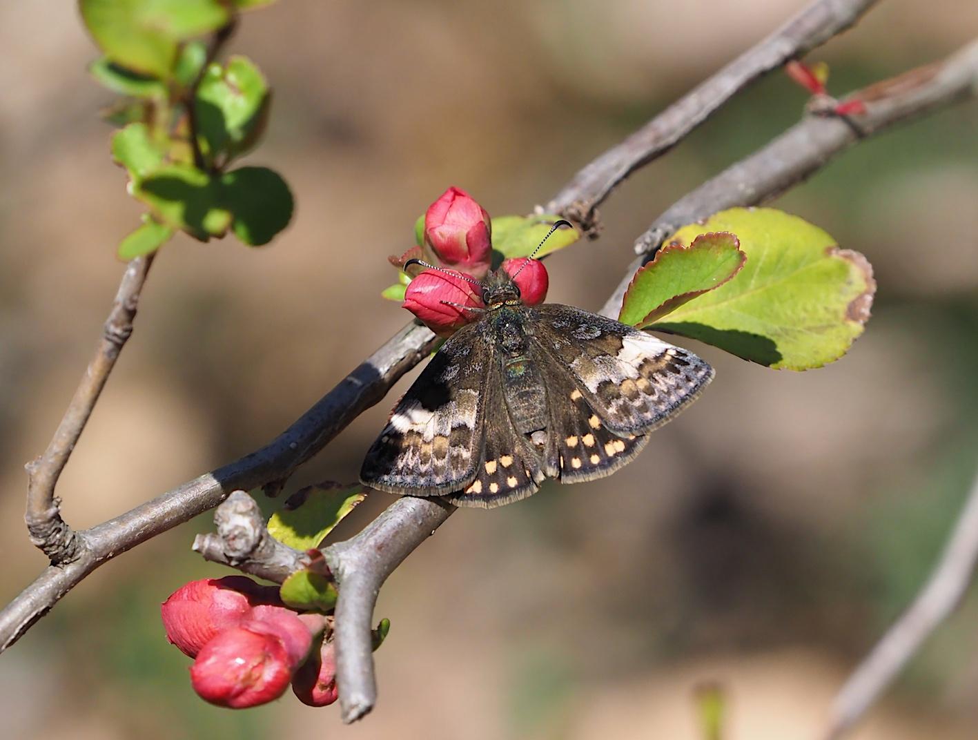 アセビにくる蝶たち、ミヤマセセリ(2019年3月26日)_d0303129_1521552.jpg