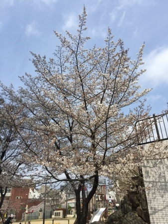 開花宣言&あなたが好きな桜スポット_f0201039_12491683.jpeg