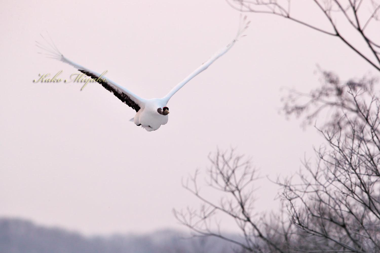 タンチョウ(Japanese crane)_d0013455_14041642.jpg