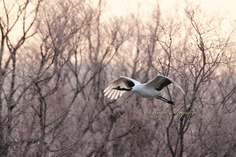 タンチョウ(Japanese crane)_d0013455_14042869.jpg