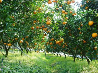 究極の柑橘「せとか」 平成31年度も大好評!今期発送予定分カウントダウンです!ご注文はお急ぎください!_a0254656_16520336.jpg