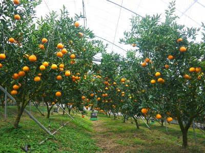 究極の柑橘「せとか」 平成31年度も大好評!今期発送予定分カウントダウンです!ご注文はお急ぎください!_a0254656_16534760.jpg
