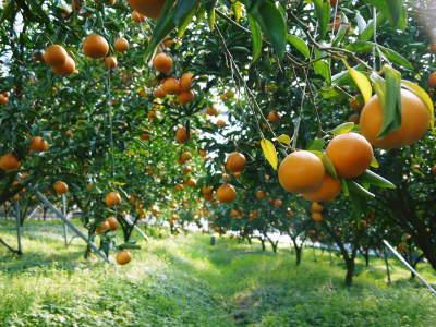 究極の柑橘「せとか」 平成31年度も大好評!今期発送予定分カウントダウンです!ご注文はお急ぎください!_a0254656_18035672.jpg
