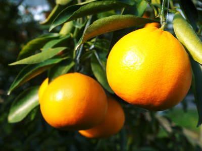 究極の柑橘「せとか」 平成31年度も大好評!今期発送予定分カウントダウンです!ご注文はお急ぎください!_a0254656_18052319.jpg