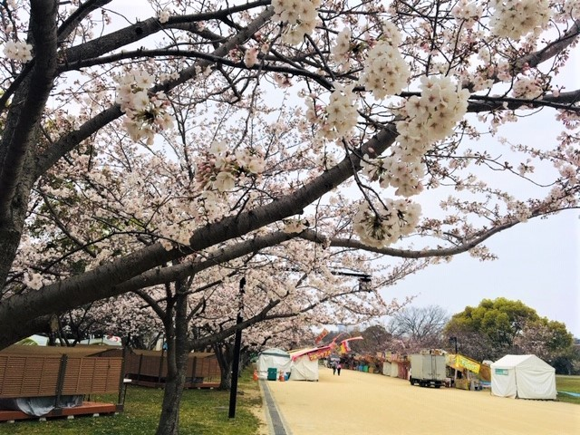 5分咲き〜(^_^)in舞鶴公園_d0082356_10540408.jpg