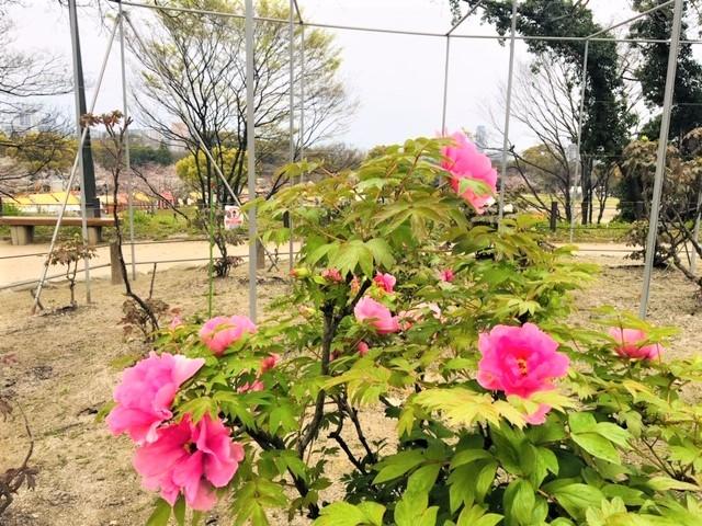 5分咲き〜(^_^)in舞鶴公園_d0082356_10544981.jpg
