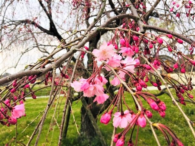 5分咲き〜(^_^)in舞鶴公園_d0082356_10545701.jpg