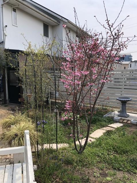 我が家の「桜」「ユスラウメ」も開花しました_a0243064_08484151.jpg