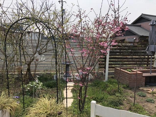 我が家の「桜」「ユスラウメ」も開花しました_a0243064_08485452.jpg