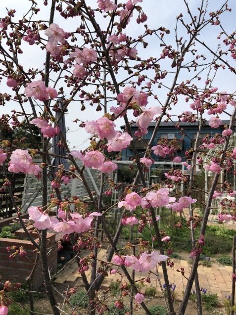 我が家の「桜」「ユスラウメ」も開花しました_a0243064_08490352.jpg