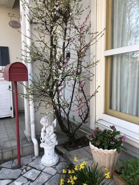 我が家の「桜」「ユスラウメ」も開花しました_a0243064_08551881.jpg