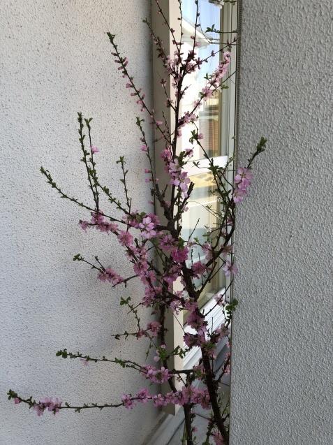我が家の「桜」「ユスラウメ」も開花しました_a0243064_08554285.jpg