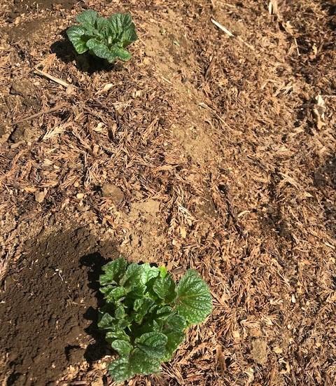 ジャガイモに再び不織布、トウモロコシなど発芽3・27_c0014967_10364388.jpg