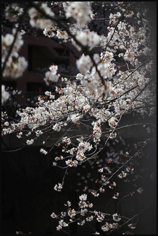 神田川 -2_b0340572_08183488.jpg