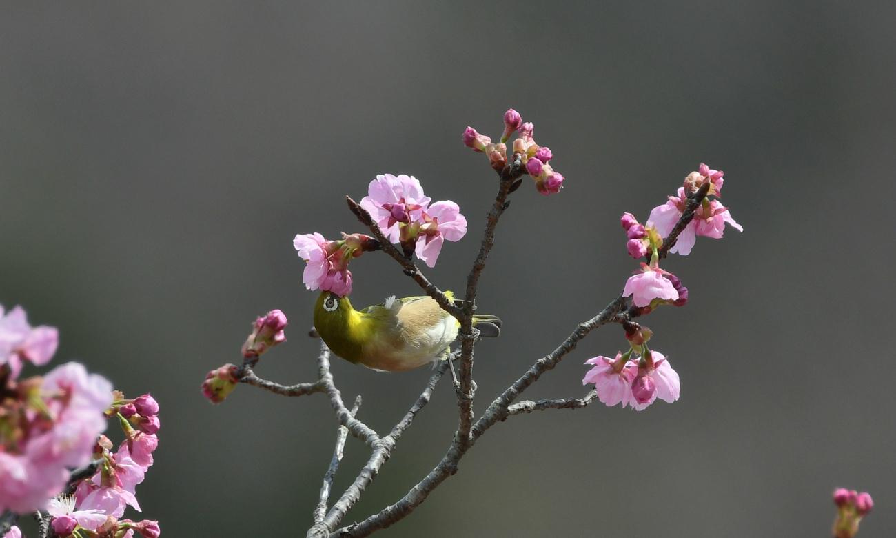 桜🌸にメジロ_f0053272_20570278.jpg