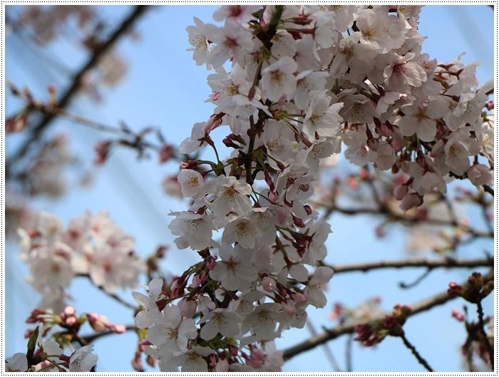 二度目の桜開花観察お散歩、すごい一気に5分から6分咲きの木も、暖かい日が続いたもんね~_b0175688_20065047.jpg