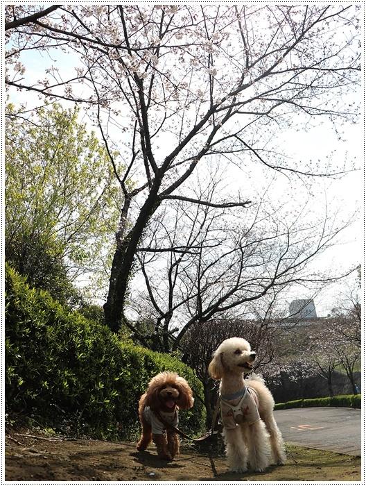 二度目の桜開花観察お散歩、すごい一気に5分から6分咲きの木も、暖かい日が続いたもんね~_b0175688_20065455.jpg