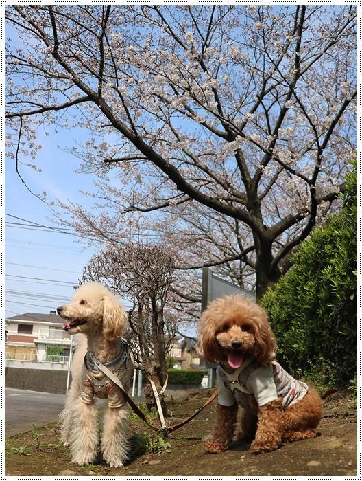 二度目の桜開花観察お散歩、すごい一気に5分から6分咲きの木も、暖かい日が続いたもんね~_b0175688_20065811.jpg