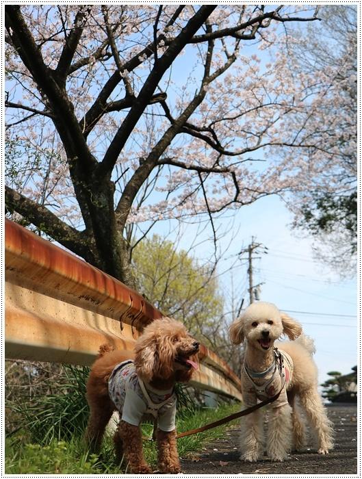 二度目の桜開花観察お散歩、すごい一気に5分から6分咲きの木も、暖かい日が続いたもんね~_b0175688_20070398.jpg
