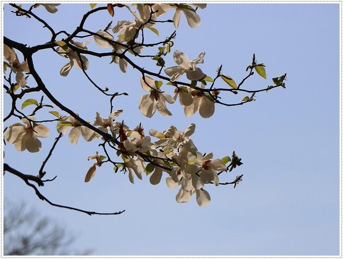 二度目の桜開花観察お散歩、すごい一気に5分から6分咲きの木も、暖かい日が続いたもんね~_b0175688_20070688.jpg