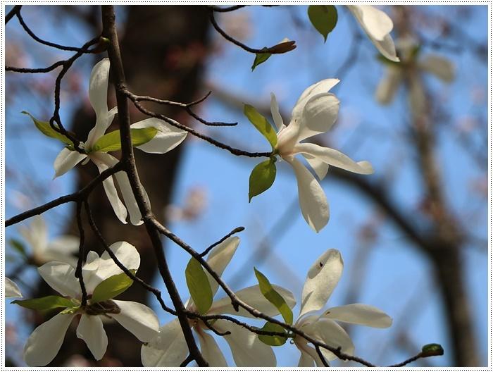 二度目の桜開花観察お散歩、すごい一気に5分から6分咲きの木も、暖かい日が続いたもんね~_b0175688_20070932.jpg