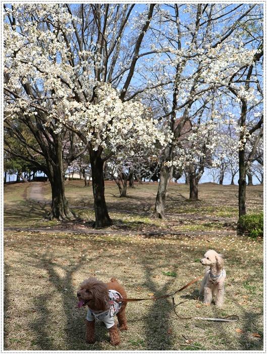二度目の桜開花観察お散歩、すごい一気に5分から6分咲きの木も、暖かい日が続いたもんね~_b0175688_20071356.jpg