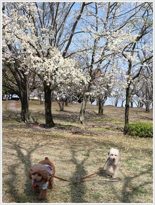 二度目の桜開花観察お散歩、すごい一気に5分から6分咲きの木も、暖かい日が続いたもんね~_b0175688_20071794.jpg