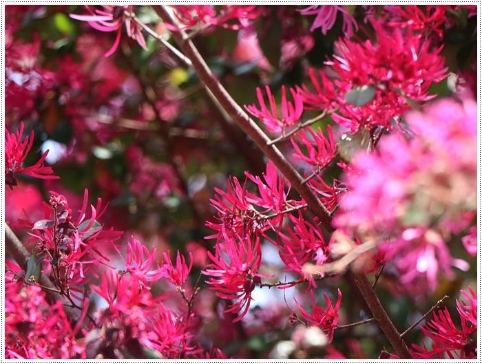 二度目の桜開花観察お散歩、すごい一気に5分から6分咲きの木も、暖かい日が続いたもんね~_b0175688_20113664.jpg