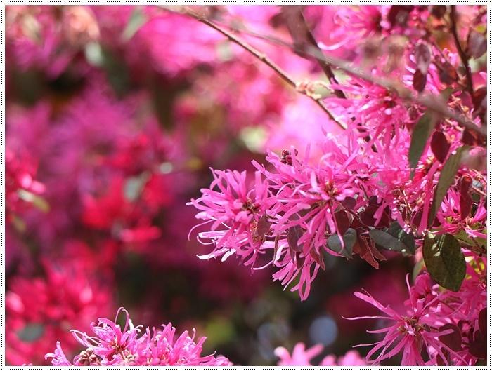 二度目の桜開花観察お散歩、すごい一気に5分から6分咲きの木も、暖かい日が続いたもんね~_b0175688_20113914.jpg