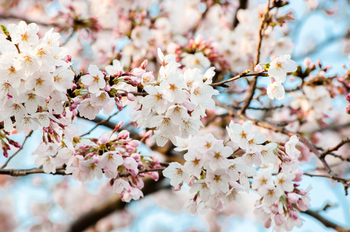 SAKURA COLLECTION_a0174495_11422456.jpg