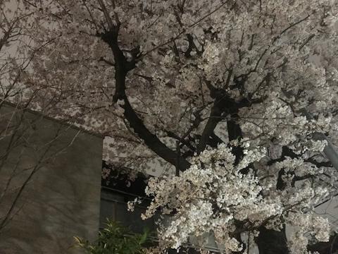 sakura._f0038600_23404407.jpg