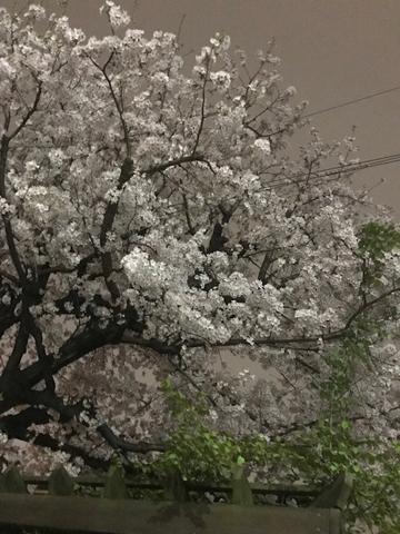sakura._f0038600_23405179.jpg