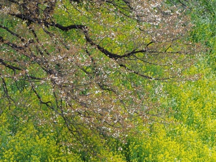 桜追っかけ 千鳥ヶ淵の山桜_f0224100_11460474.jpg