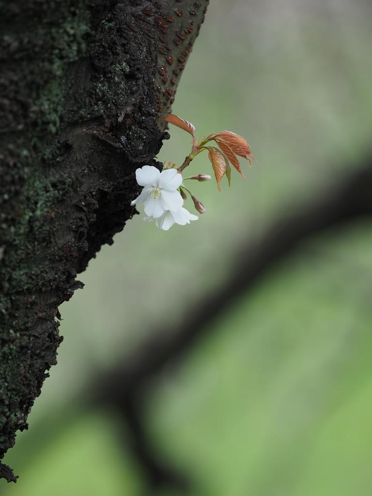 桜追っかけ 千鳥ヶ淵の山桜_f0224100_11462248.jpg