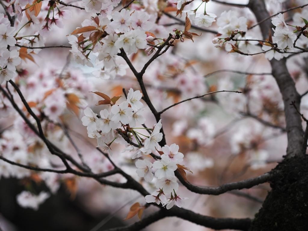 桜追っかけ 千鳥ヶ淵の山桜_f0224100_11463864.jpg