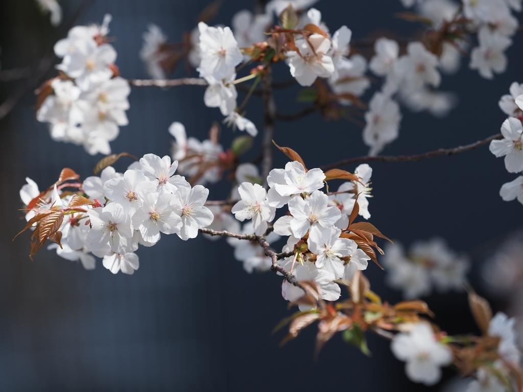 桜追っかけ 千鳥ヶ淵の山桜_f0224100_11470974.jpg